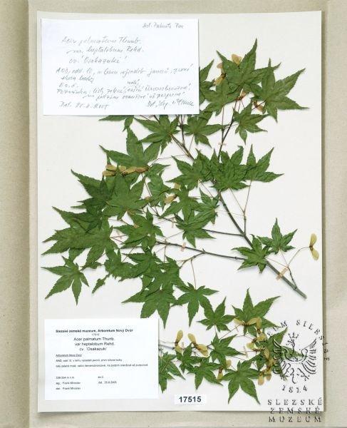 Esbirkycz Acer Palmatum Thunb Var Heptalobum Rehd Cv
